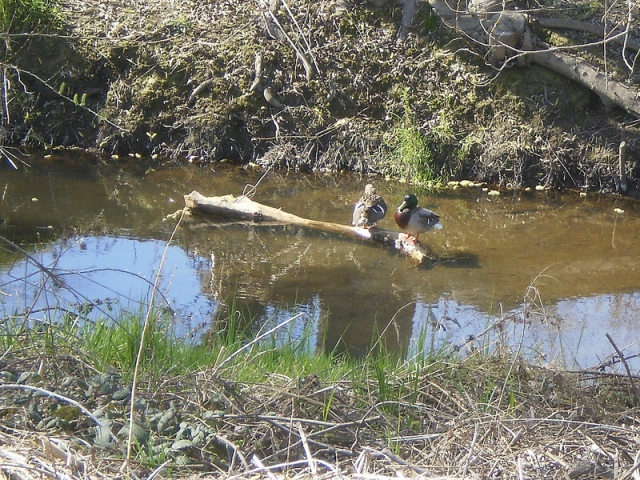 Ducklings 2