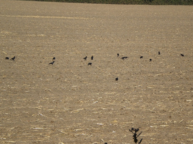 Crows in a Field