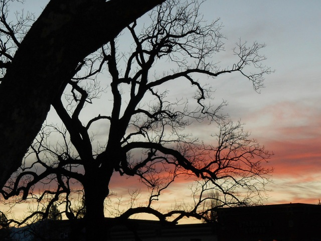 Oaks in Sunset